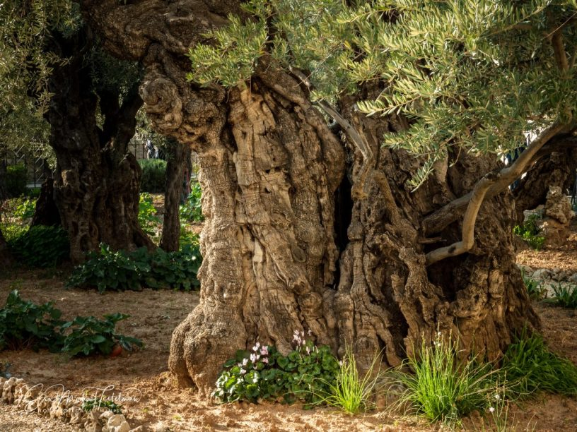 Ancient Olive Tree Believed to be More than 2000 years old